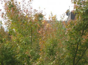 The first sign of autumn colors right off my balcony!