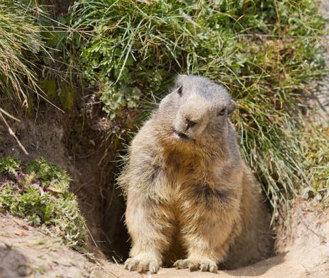groundhog_large